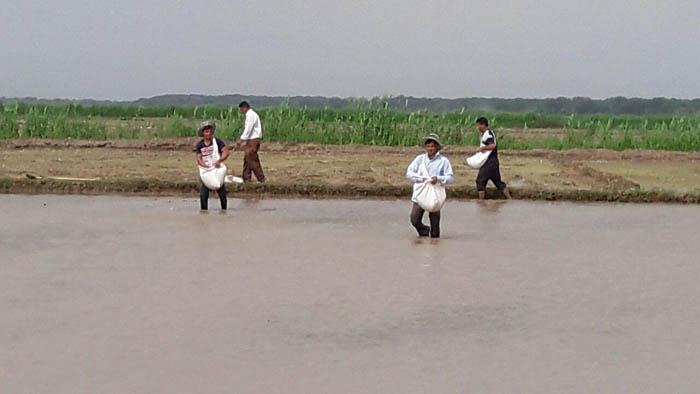 کاشت برنج در پارس آبادمغان/ تصویری
